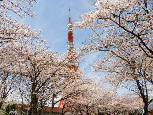 東京芝公園櫻花