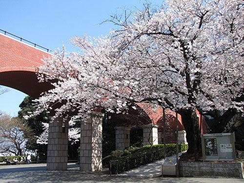 橫濱賞櫻景點港の見える丘公園