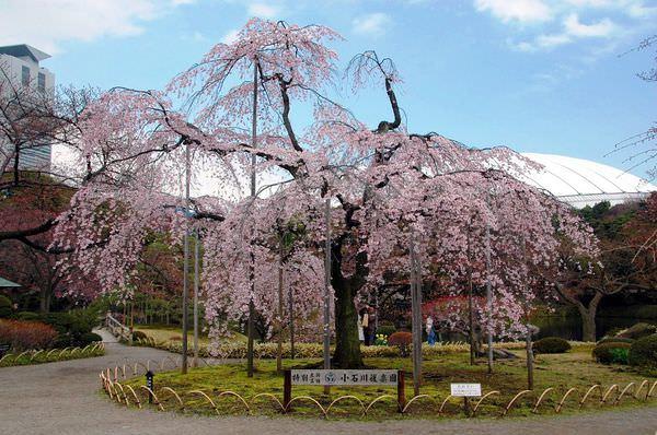小石川後樂園櫻花