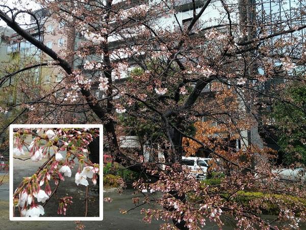 sakurapic170327.jpg