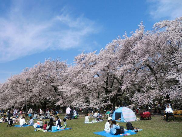 東京小金井公園櫻花