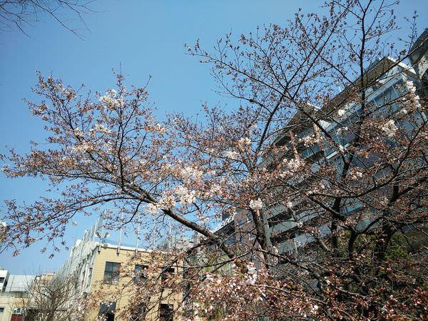 sakurapic170328.jpg