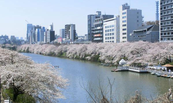 外濠公園櫻花