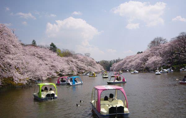 井之頭恩賜公園櫻花