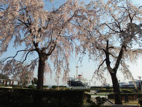 橫濱賞櫻景點山下公園