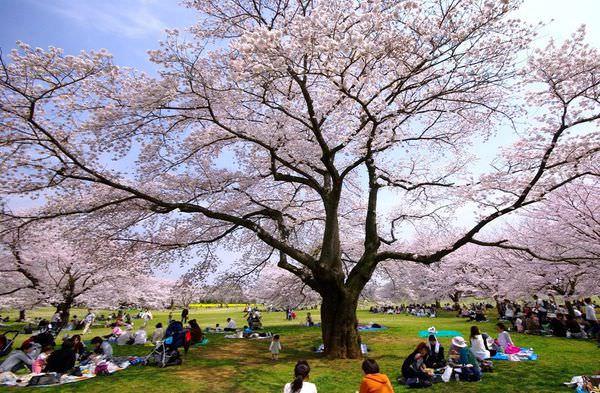 昭和紀念公園櫻花