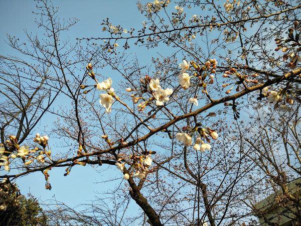 sakurapic170325.jpg