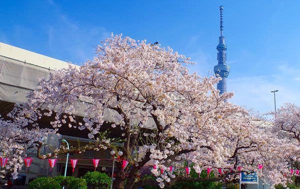 隅田川公園櫻花
